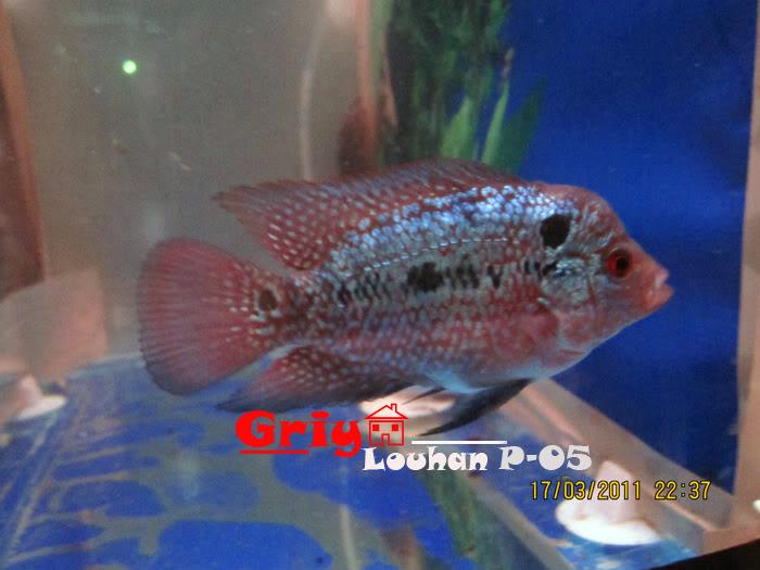 share Louhan P series LOUHANP-05