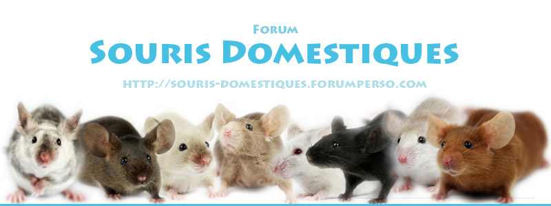 Souris Domestiques