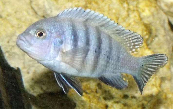 [résolu]Mâle ou femelle? - Cynotilapia pulpican FemalPulpic