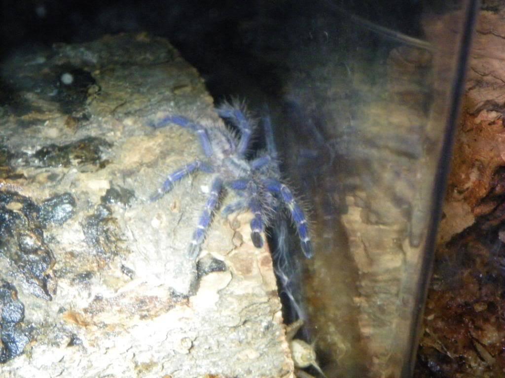 A few of my tarantulas (pics) 100_0025
