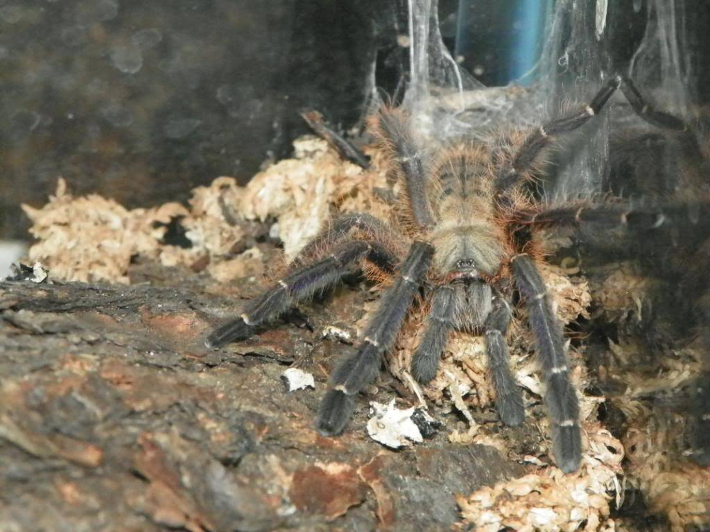 A few of my tarantulas (pics) 100_0219