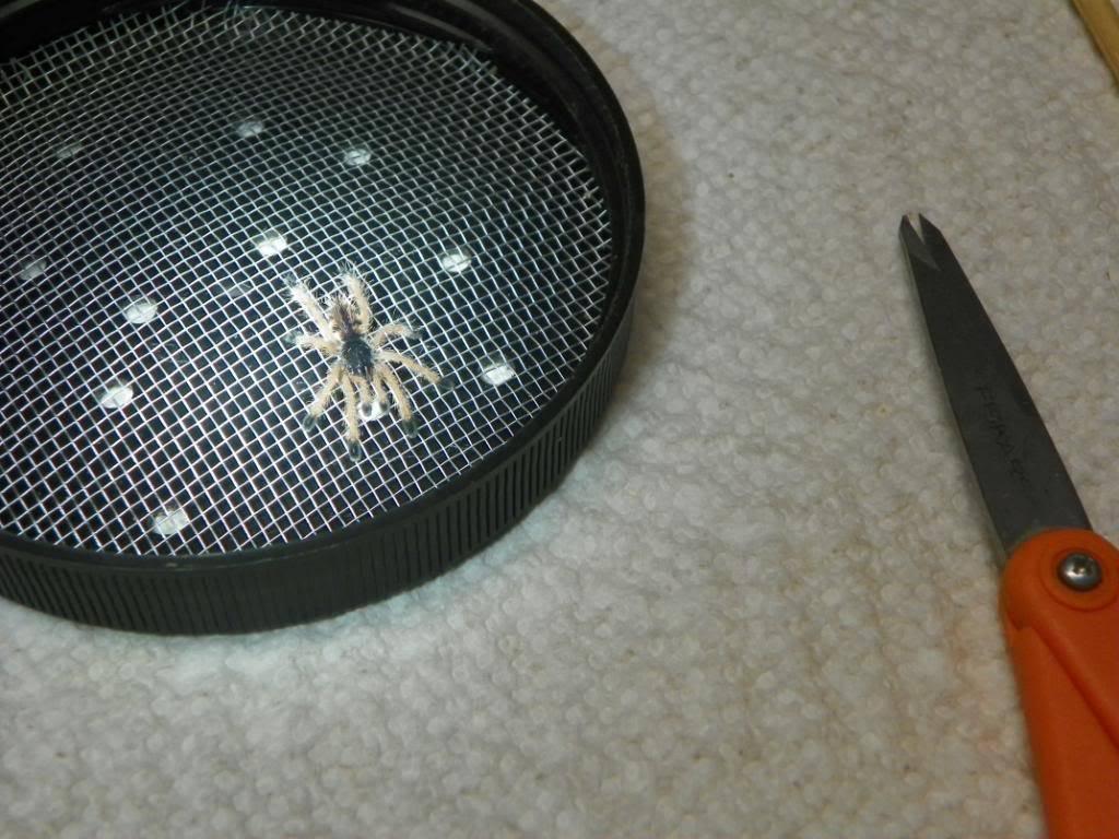 A few of my tarantulas (pics) 100_0242