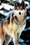`Wolf Existence //PsychePack vs TartarusPack\\ Wolf2