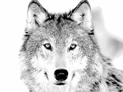 Опиши предния с картинка Wolf-sketch