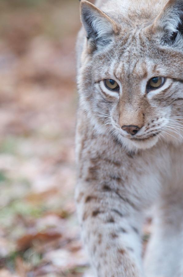 photo Lynx-jpg_zps53f75054.jpg