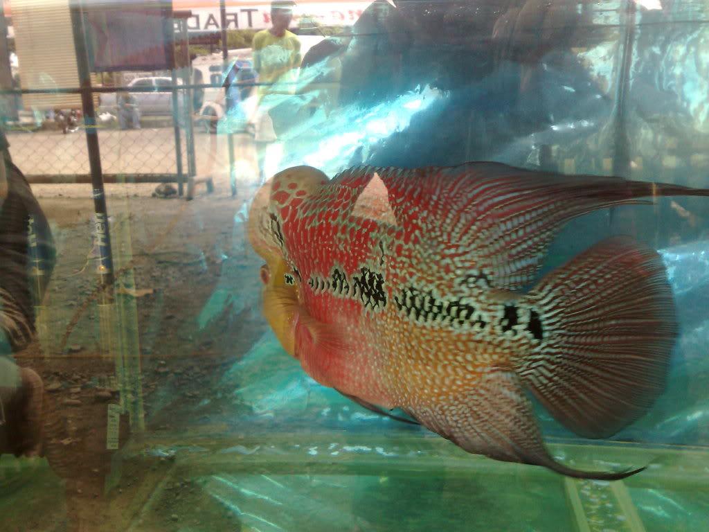 Antique Flowerhorn Show @ TradeTown Market.. 120520101463