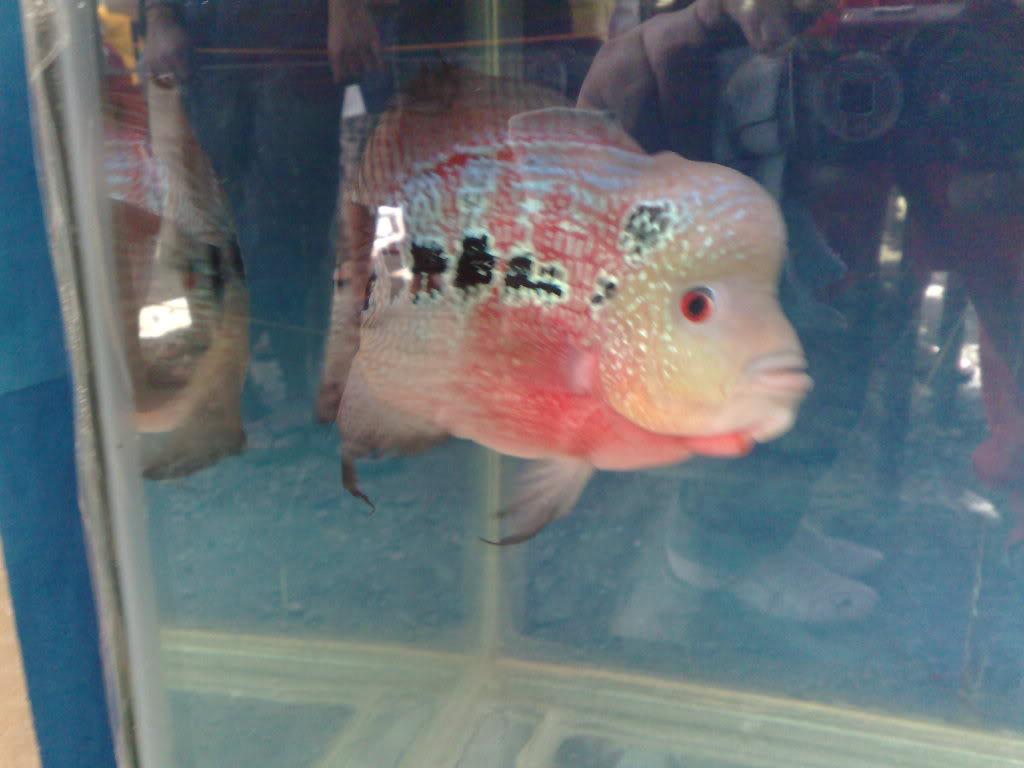 Antique Flowerhorn Show @ TradeTown Market.. 120520101497