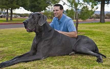 Chú chó cao gần bằng một con ngựa ( khủng wa'') George231292