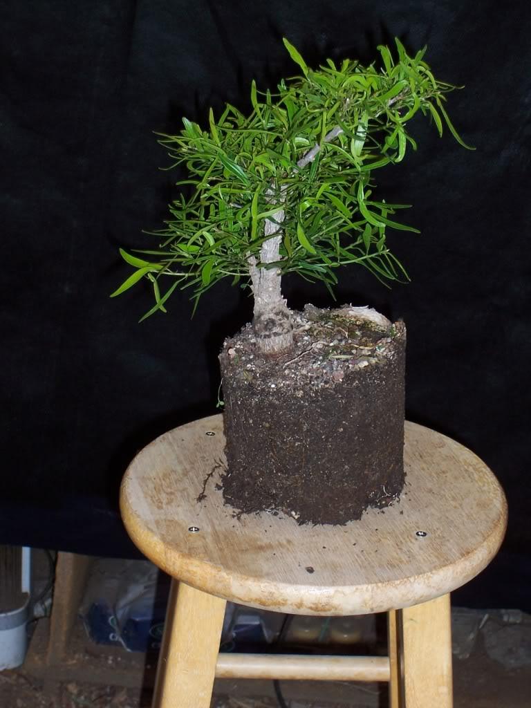 Frostbitten Ficus 100_2726