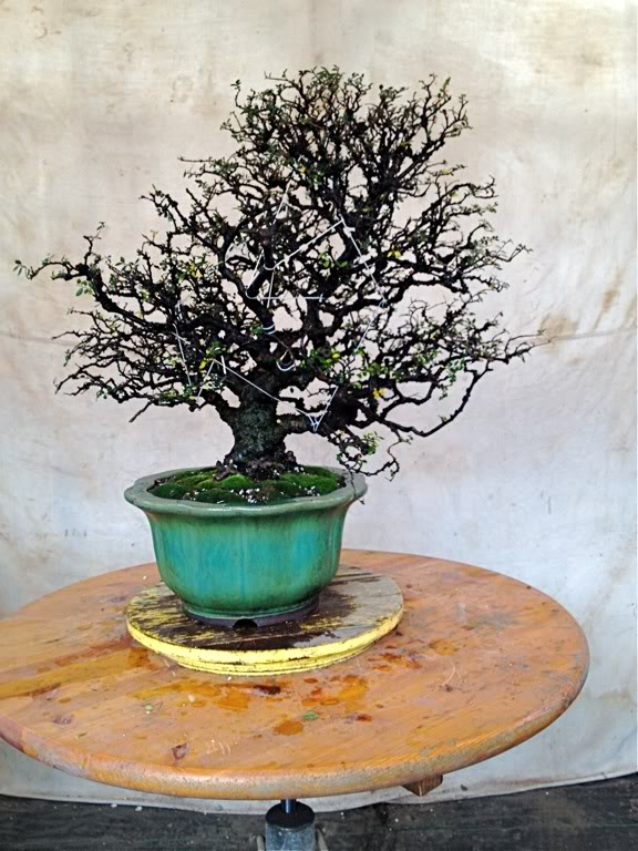 Does this pot and tree cobination work for you. File-155