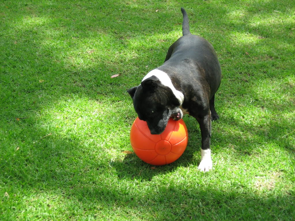 staffy balls Fremantle043