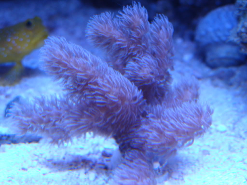 FS: Corals and Macros! DSC07629