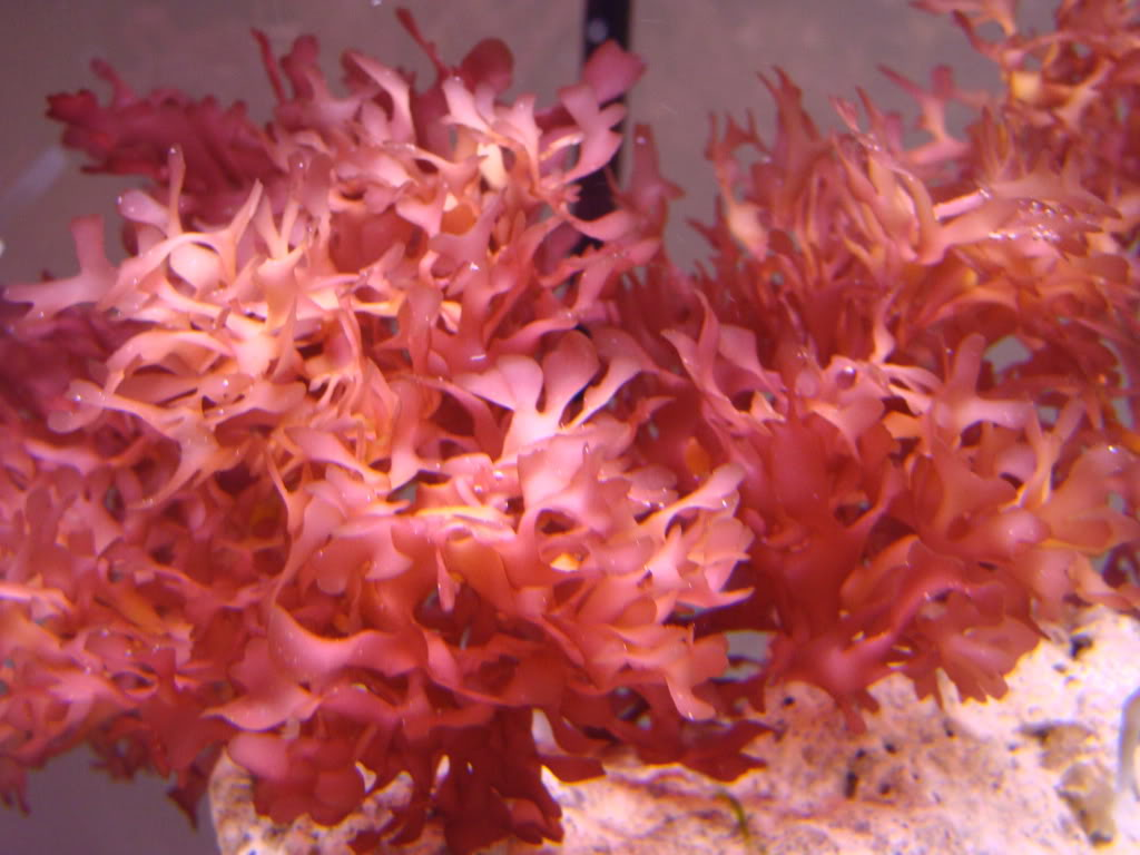 FS: Corals and Macros! DSC07649