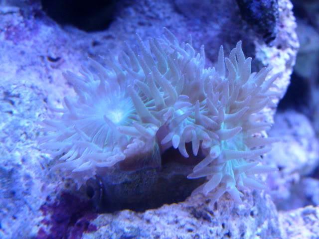 Samantha's 100 Gallon Mixed Reef DSC09463
