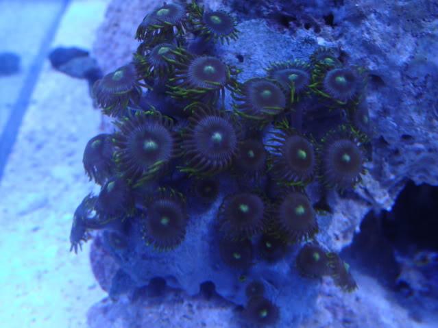 Samantha's 100 Gallon Mixed Reef DSC09468