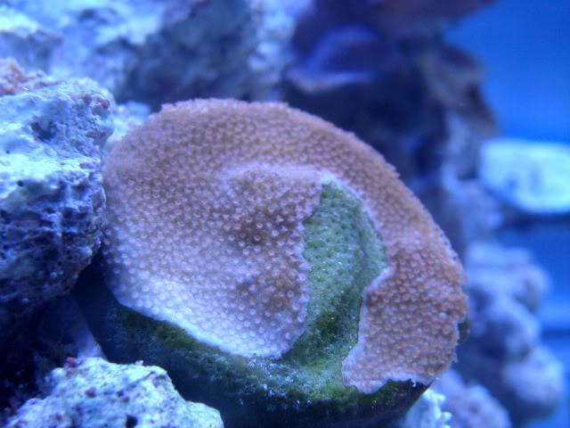 Samantha's 100 Gallon Mixed Reef DSC09489