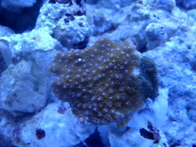 Samantha's 100 Gallon Mixed Reef DSC09495