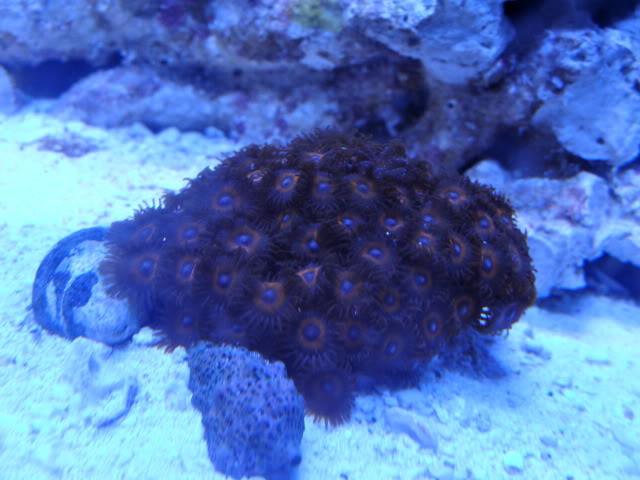 Samantha's 100 Gallon Mixed Reef DSC09497