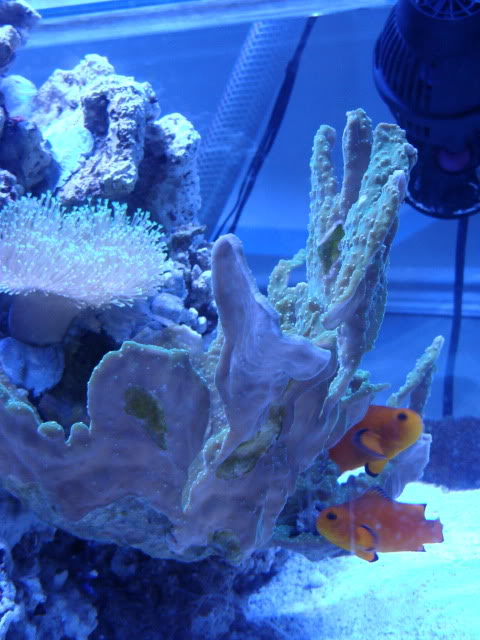 Samantha's 100 Gallon Mixed Reef DSC09498