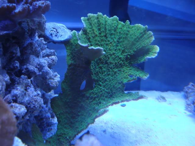 Samantha's 100 Gallon Mixed Reef DSC09525