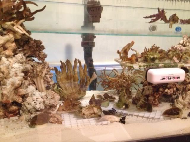 Samantha's 100 Gallon Mixed Reef IMG_0202