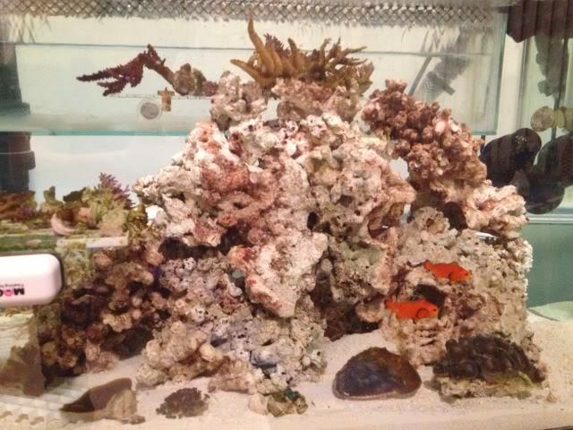 Samantha's 100 Gallon Mixed Reef IMG_0203