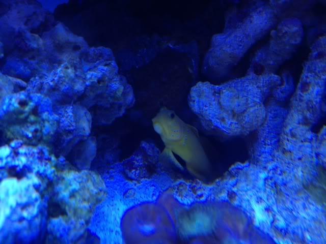 Samantha's 100 Gallon Mixed Reef IMG_0347