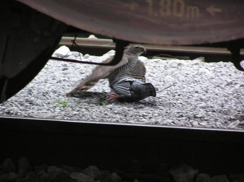 Željeznica i beštije P1010090