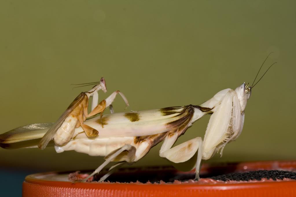FICHA HYMENOPUS CORONATUS Coronatuscopula3