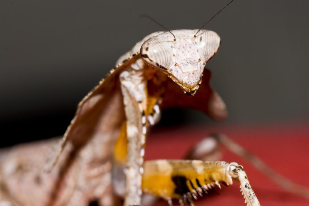 Deroplatys Lobata Lobata
