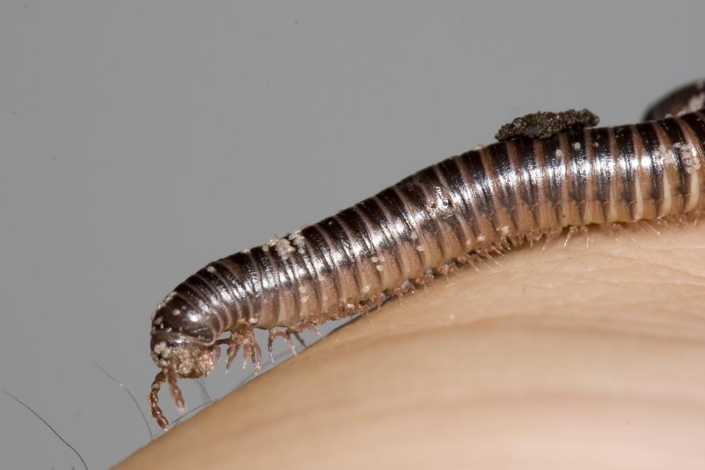Archispirostreptus gigas  Mil_1