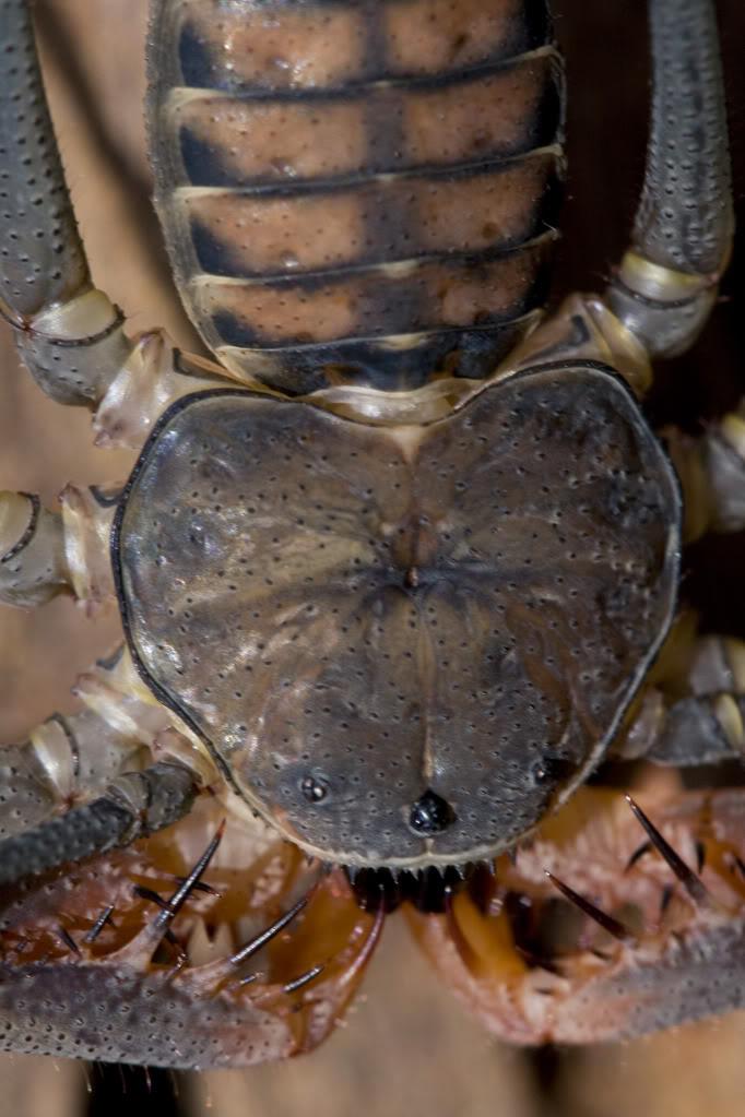 Mi Acanthophrynus coronatus..... Nat_12