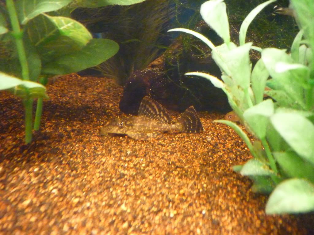 Recently accuired plecos 0011