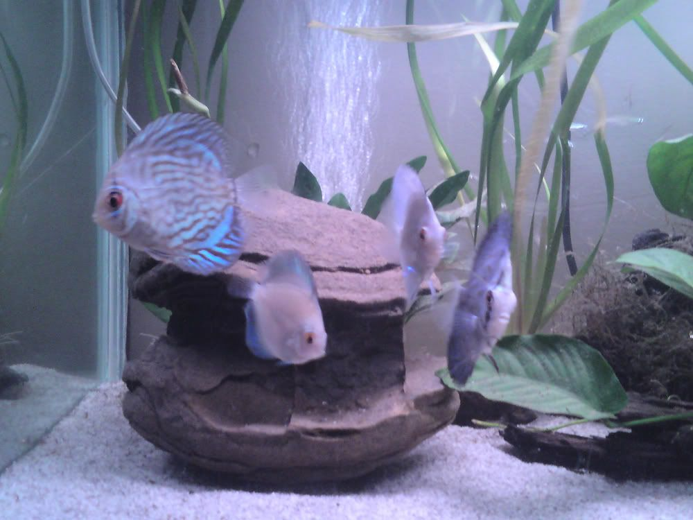 My 3ft tank 4discus