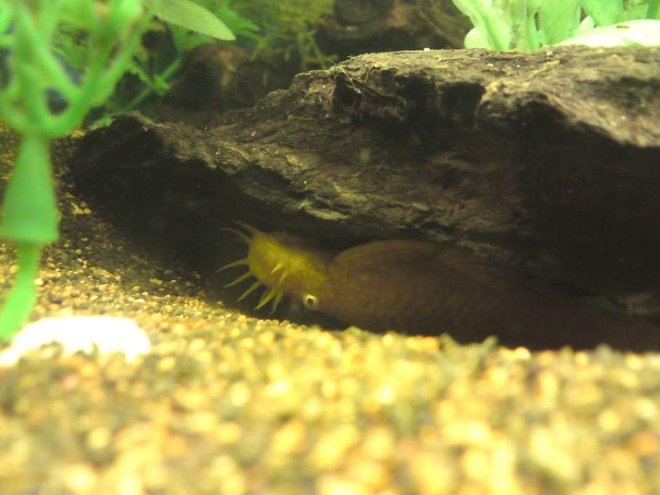 FS: misc fish, plecs, tanks (SA) DSC00411