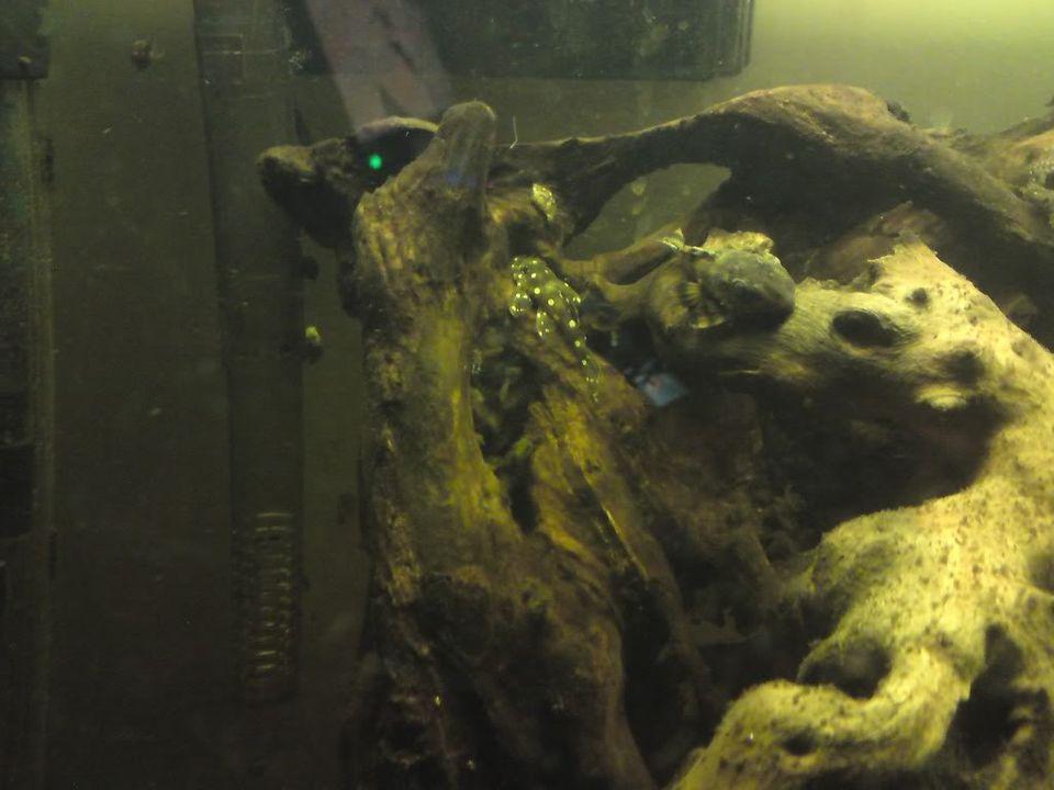 FS: misc fish, plecs, tanks (SA) DSC00422