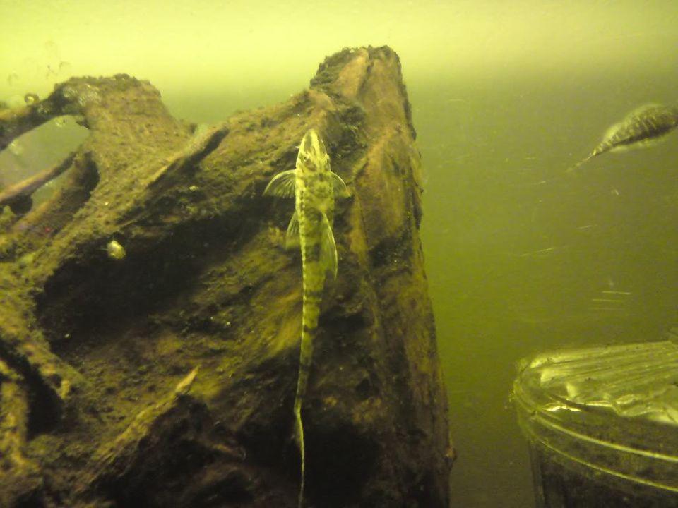 FS: misc fish, plecs, tanks (SA) DSC00425