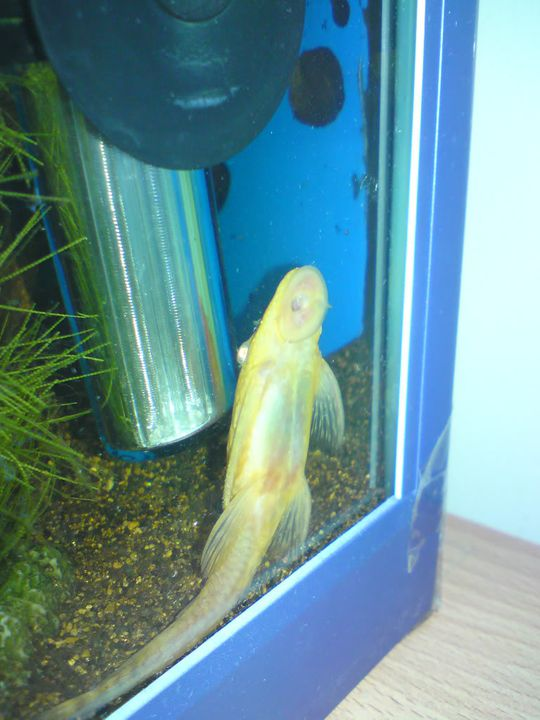 FS: misc fish, plecs, tanks (SA) Albinofemale