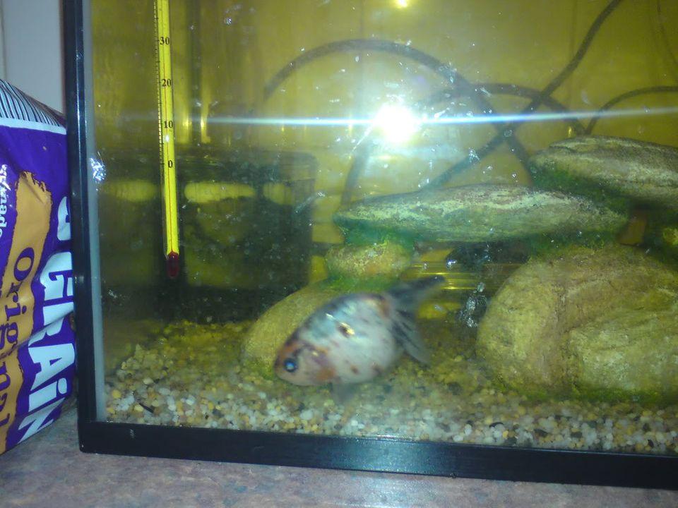FS: misc fish, plecs, tanks (SA) Calicoranchu