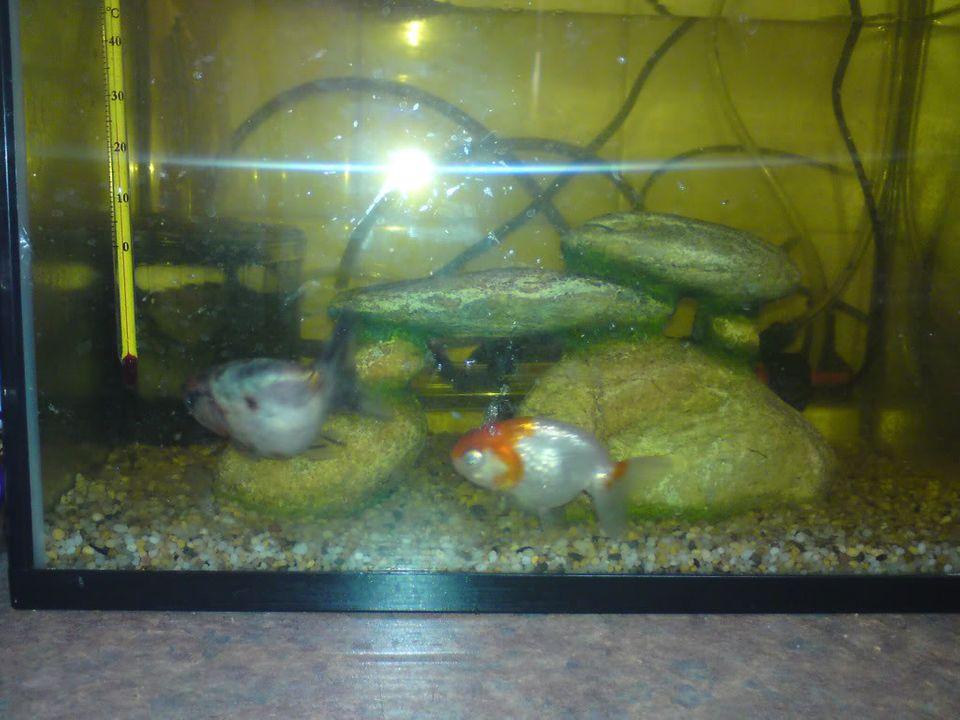 FS: misc fish, plecs, tanks (SA) Calicoranchunredcaplionhead