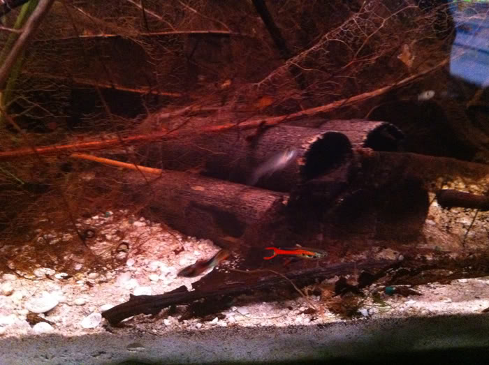 3ft Shrimp tank LittleRED