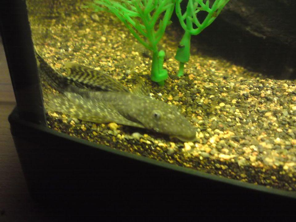 FS: misc fish, plecs, tanks (SA) Longfinbn