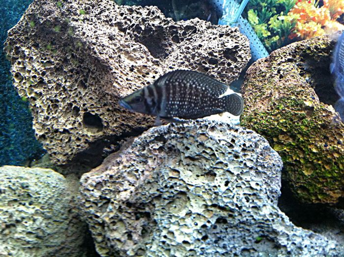 My first ever African cichlid breeding experience Photogeniccalvus
