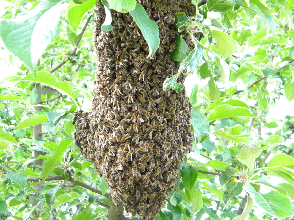 Pčelarstvo - Page 6 DSCN4231