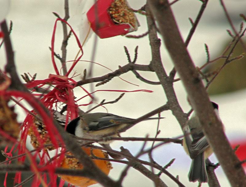 À la distasio, pour les oiseaux!! 26novembre2007003