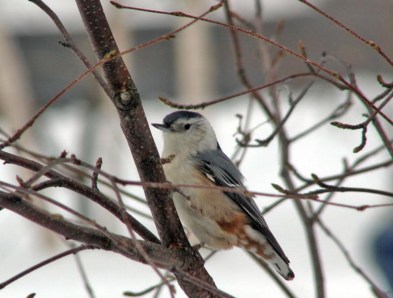 À la distasio, pour les oiseaux!! 26novembre2007034