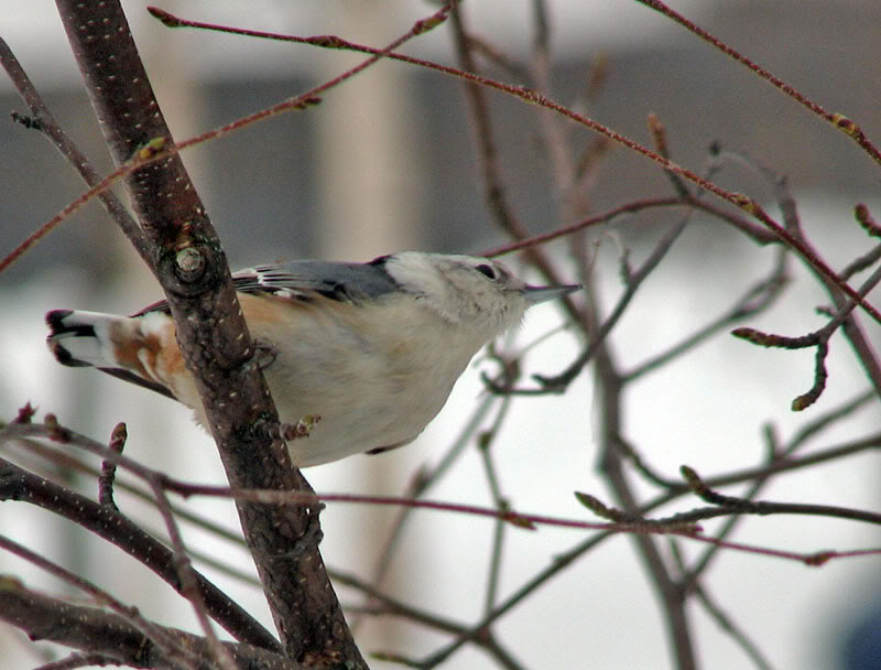À la distasio, pour les oiseaux!! 26novembre2007035