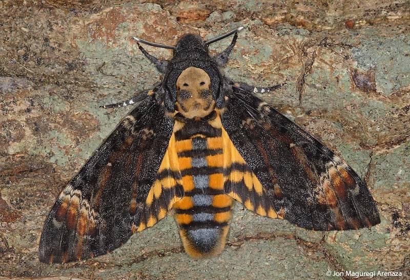 [FC] Mausoleum of butterflies Acherontia_atropos