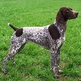 Wuff Like A Dog(Stray dogs)Semlit Accepting GermanShorthairedPointer