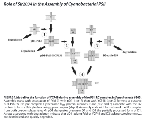 Assembling and maintaining the Photosystem II complex in chloroplasts and cyanobacteria 22390fullpdf2014-03-1021-09-27_zpsec6ecfd3